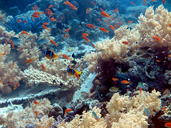 Pseudanthias squamipinnis (sharksfin) Tags: sudan redsea rotes meer deepsouth ocean sea
