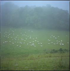 sheep (steve-jack) Tags: hasselblad 501cm 80mm cb fuji reala 120 film 6x6 mist hertfordshire royston tetenal c41 kit epson v500