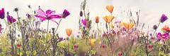 Blumenwiese (sabrinasteiger1) Tags: blumen blumenwiese flower flowers panorama pano summer sommer feld field spring frühling deutschland germany nahaufnahme macro bunt