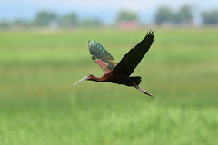 White-faced Ibis (9917) (Bob Walker (NM)) Tags: bird flying marsh whitefacedibis plegadischihi wfib ibis alamosa colorado usa