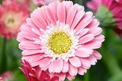 Barberton Daisy (YY) Tags: netherlands lisse keukenhof flower flowers