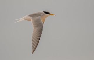 DSC8745 Little Tern..