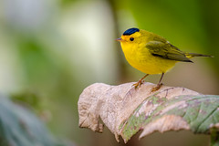Cardellina pusilla, Wilson's Warbler, Reinita Gorrinegra (Eduardo Mena U.) Tags: copey provinciadecartago costarica cr