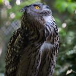 Eagle owl thumbnail