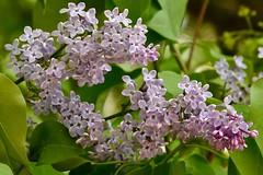Lavendar Lilac (bmasdeu) Tags: flower clusters flowerette lavendar lilac spring