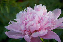 Peony (Rivers, Lakes, Nature & Architecture) Tags: pink peony spring fragrant blossom beauty nikon sigma paeonia