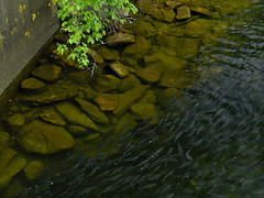 _5260794_04 (nutoxlabs) Tags: alewives fish ladder concrete twigs river stone lichen daktable iso 1600 nr noise reduction profile nonlocal f56 1320s open source free software lobster bait olympus pro 40150mm em1 omd nosharpening amaze demosaic