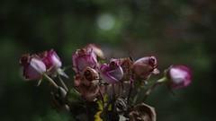 Roses (bamboosage) Tags: meyeroprik gorlitz primoplan 1958 preset m42