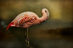 Stand Tall and Be Fabulous (Christina's World Off and On) Tags: bird flamingo nature textures dark painterly art largebird pink scenic