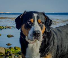Greater Swiss Mountain dog Fips vom Höhegarten (frankmh) Tags: animal dog portrait greaterswissmountaindog grosserschweizersennenhund laröd helsingborg skåne sweden