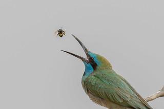 Open wide - Green Bee-eater (Merops orientalis)