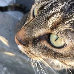 (hannemiriam) Tags: feline lunathecat whiskers cateye catface pet chat katze kat cat iphone