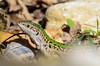 Lizzard (Strup_pix) Tags: nature natur lizzard eidechse animal reptil tier reptile