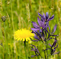 365/299 c (Stozzle) Tags: 365 camassia hawkbit meadow flowers blue yellow