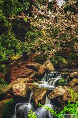 Crab Apple Falls (gvonwahlde) Tags: arboretum minnesotalandscapearboretum minnesota canon canon6d crabapple crabappleblossoms waterfall spring pselements vonwahlde