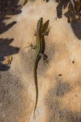 Spanish Lizard (JKmedia) Tags: reptile lizard scales basking sun summer spain shadow boultonphotography 2018