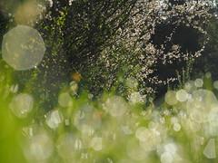 Prunus Spinosa Spring Meadow Pasture Nature Germany Bavaria Countryside © Schlehe Hecke Frühling Wiese Bayern Oberbayern © (hn.) Tags: 2018 april bavaria bayern blossom blossoming blowball blume blühen blüte busch copyright copyrighted dandelion deutschland dew eu europa europe feld field flora flower flowering frã¼hling frühling frühlingsblume gaissach germany greeneland hecke hedge hedgerow heiconeumeyer löwenzahn meadow morgentau morningdew natur nature oberbayern pasture pflanze plant pusteblume shrub spring springflower strauch taraxacum taraxacumofficinale tau tã¶lzerland upperbavaria wiese wildflower wildflowers wildblume wildblumen gaisach schlehdorn prunusspinosa schlehendorn schlehe heckendorn schwarzdorn deutscheakazie sloe schlehenhecke schlehdornhecke sloehedge blackthorn