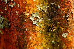 Colourful Lichen (acwills2014) Tags: lichen algae rainbow color colour bark tree forest abstract pattern textures macromondays nature allnatural bacteria