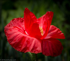 In Flanders Fields... (Jim Frazier) Tags: q4 publicgarden 2018 20180518cantignypoppies 2018cantigny2018 papaveraceae papaveroidea beautiful beauty bloom blooming blossoming blossoms botanic botanicgarden botanicalgarden botanicalgardens burgeoning burgeons cantigny cantignypark closeup detail dupage dupagecounty flora floral flourishing flowering flowers gardening gardens growing horticulture il illinois jimfraziercom macro may museum natural nature park parks plants poppies poppy preserve red spring study wheaton f10 fastpictures