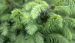 18-52: bloom (matt_in_a_field) Tags: growth spring bloom needles tree seedling plant flora fuji fujinon fujifilm branch