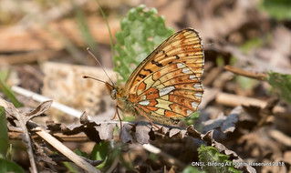 Pearl Bordered Fritillary - Bentley Woods
