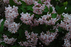 Deutzia (basswulf) Tags: flower deutzia d40 1855mmf3556g lenstagged unmodified 32 image:ratio=32 permissions:licence=c plantdb:family=pending 20180530 201805 3008x2000 garden backgarden normcres oxford england uk