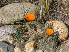 Between A Rock And A Hard Place (davidseibold) Tags: america benaroad californiapoppy flower grass jfflickr nature photosbydavid plant poppy postedonflickr rock unitedstates usa wildflower california