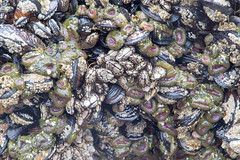 Pack of Mussles, gooseneck barnacle, and sea anemones (ogmueller) Tags: stockcategories barnacle usa oregon northamerica nature cnidaria arthropod seaanemone animals gooseneckbarnacle photojournalism places crustaceans cloverdale unitedstates