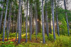 (Clint Everett) Tags: nature forest summer morning sun rays trees pine minnesota green