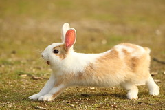 Baby rabbit (Teruhide Tomori) Tags: rabbit wild animal ohkunojimaisland hiroshima takehara japan japon ウサギ アナウサギ 大久野島 広島 竹原 瀬戸内海 setoinlandsea 動物 野生 nature 自然