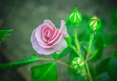 Una rosa es una rosa... (ninestad) Tags: rosa flor jardín naturaleza madrid parques campodelmoro primavera