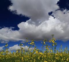 Blending with clouds (Robyn Hooz) Tags: colza ripe nuvole clouds giallo blu polarizzatore dream loneliness vento padova