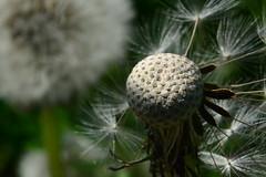 Dandelion_Seed_Head-012 (DomMason) Tags: dandelionseed dandelionhead dandelion tampopo seeds macro seedhead dandelionseedhead