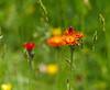 Wildflower Bokeh (eric robb niven) Tags: ericrobbniven scotland wildflower nature dunkeld perthshire summer springwatch