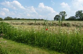 Landscape with poppy