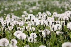 2018-05-21 17.13.39 Maskrosor i Ör (HAKANU) Tags: sweden småland kronoberg ör flowers flower field spread dandelion seeds white green overblown