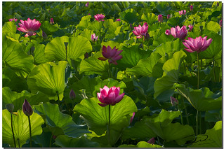 Lotus Pond, 三重荷花池, Taiwan