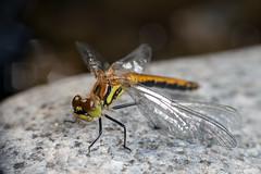 Certain Doom - _TNY_1190 (Calle Söderberg) Tags: macro canon canon5dmkii canonef100mmf28usmmacro canoneos5dmarkii 5d2 flash meike mk300 glassdiffusor odonata dragonfly trollslända segeltrollslända ängstrollslända svartängstrollslända libellulidae sympetrum danae darter meadowhawk blackdarter blackmeadowhawk deformed deformity dent yellow doom doomed broken insect missbildning missbildad f19 raynox dcr250