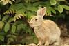 Rabbit Island OHKUNOJIMA (Teruhide Tomori) Tags: rabbit wild animal ohkunojimaisland hiroshima takehara japan japon ウサギ アナウサギ 大久野島 広島 竹原 瀬戸内海 setoinlandsea 動物 野生 nature 自然
