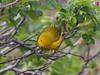 Yellow Warbler (Laura Erickson) Tags: harborisland passeriformes species lincolncounty birds events joyofbirding2018 yellowwarbler maine places parulidae dendroicapetechia setophagapetechia