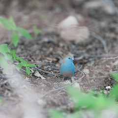 Blue waxbill. (annick vanderschelden) Tags: bluewaxbill waxbill bird soil ground wilderness dry branch leaf namibia