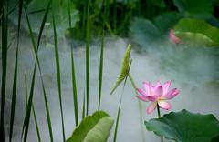 Lotus 荷花 (MelindaChan ^..^) Tags: macau 澳門 龍環葡韻 lotus 荷花 flower green leaf plant bokeh summer chanmelmel melinda melindachan pink
