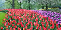 Multicolor (Helenɑ) Tags: tulips keukenhof netherlands festival lisse park garden flowers pond trees tree flower grass wood