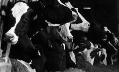 Vacas / Cows (López Pablo) Tags: cow black white bw animal farm galicia spain wayofsaintjames nikon d7200
