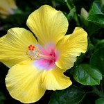 2387ex lemon yellow thumbnail