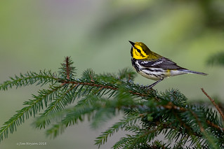 Black-throated Green Warbler 06_17_18a