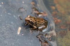 Froglet! (GWMcLaughlin) Tags: 70d froglet scotland 18135 gardens frog canon greenbank efs amphibian puddock water macro