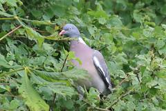 Wood pigeon (Dougie Edmond) Tags: monkton scotland unitedkingdom gb bird birds nature wildlife summer