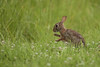 Eastern cottontail (chmptr) Tags: rabbit lapin flickr mammifère animalier animal wildlife cottontail