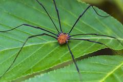 Harvestman (will139) Tags: harvestman arachnid opiliones harvestmanphylogeny southeastwaypark